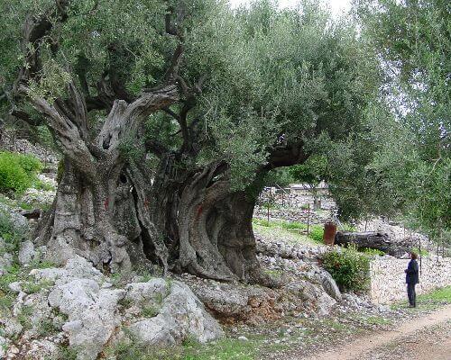 Olive tree Ithaca