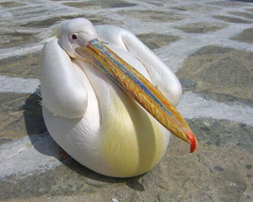 Pelikan Petros